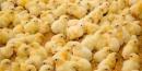 La avicultura y su proceso de producción