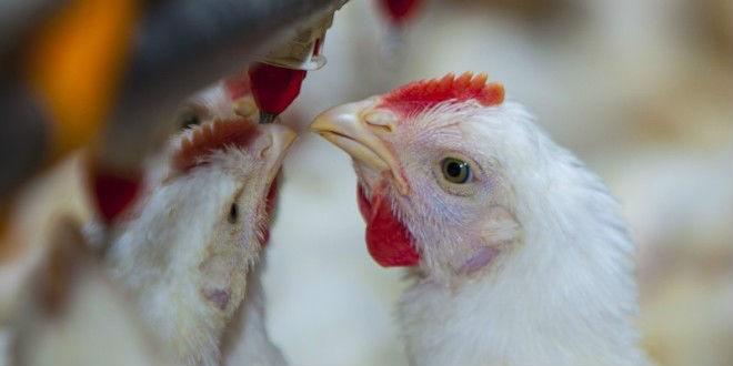 ¿Cómo funciona una granja avícola?