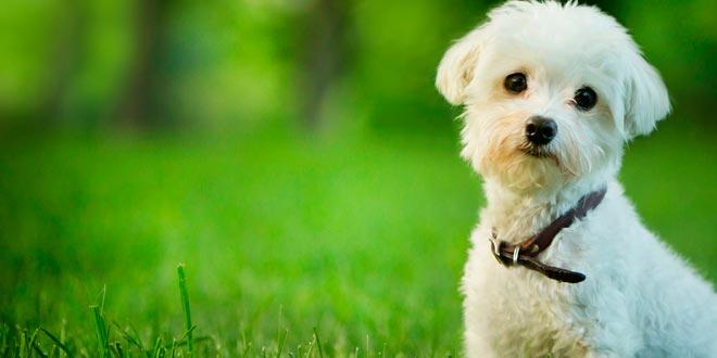Cuidados para perros de raza pequeña