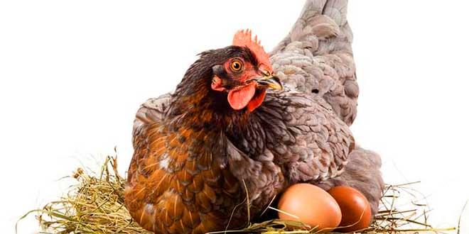 La cría de gallinas ponedoras