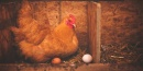 La importancia de la alimentación en la avicultura