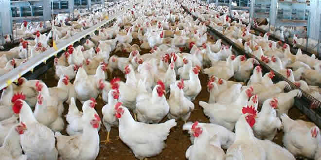 Avicultura: influencia de la producción de los pollos de engorde en la alimentación diaria de toda la población