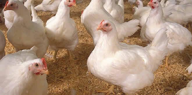 Pollos de Engorde, consideraciones generales de la Avicultura: